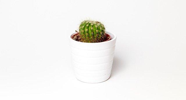 malý kaktus